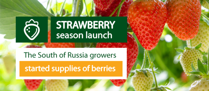 The Southern growers started the local supplies of strawberries.
